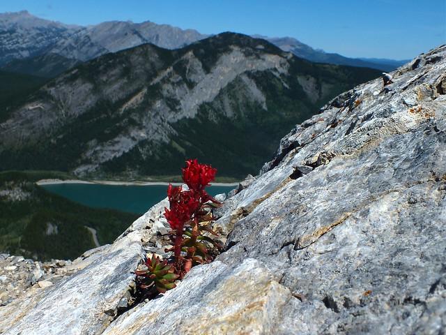365-181 Stonecrop enroute to Mt Baldy Summit - Kananaskis, Alberta Canada