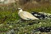 Rock Ptarmigan (Lagopus muta) male on alpine tundra.  McIntyre Mountain, Whitehorse, Yukon, Canada. by cbrozek21