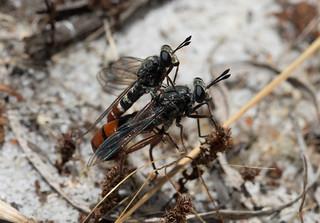 Mydas Flies Mating