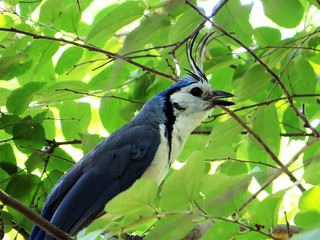 White-throated Magpie-Jay | by magnificentfrigatebird