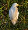 Intermediate Egret (Ardea intermedia).01 by Geoff Whalan