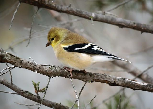 Goldfinch - 6341