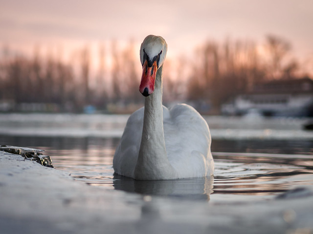 Winter swan (EM101552)