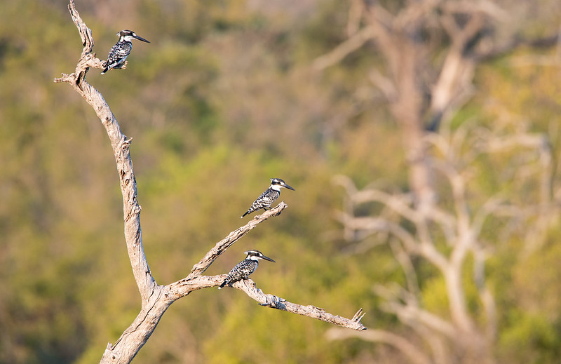 3 Pied Kingfisher
