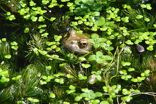 Frog in Duckweed | by http://wildaboutthebritishisles.uk