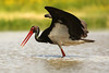 Ciconia nigra - Black Stork by Roger Wasley