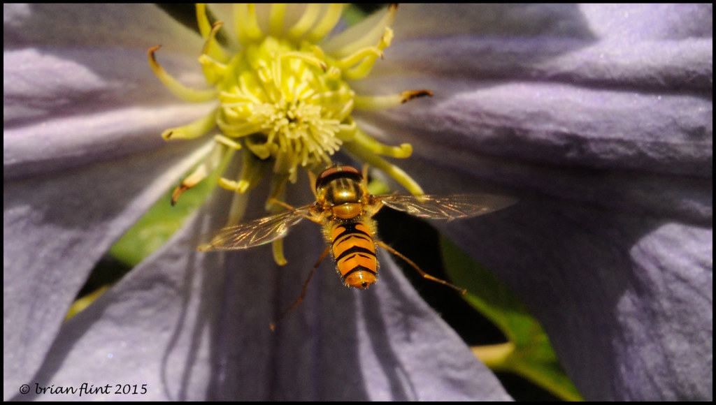 Marmalade Hoverfly in-flight