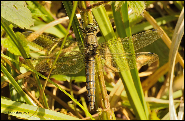 Black-tailed Skimmer dragonfly