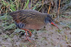 Virginia Rail by shimmer5641