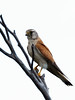 Nankeen Kestrel (Falco cenchroides) by David Cook Wildlife Photography