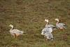 Bar-headed geese Kaziranga NP Assam India by inyathi
