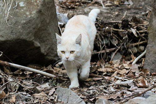 4T4A4608-2 Cream tabby Japanese cat 薄茶トラ猫