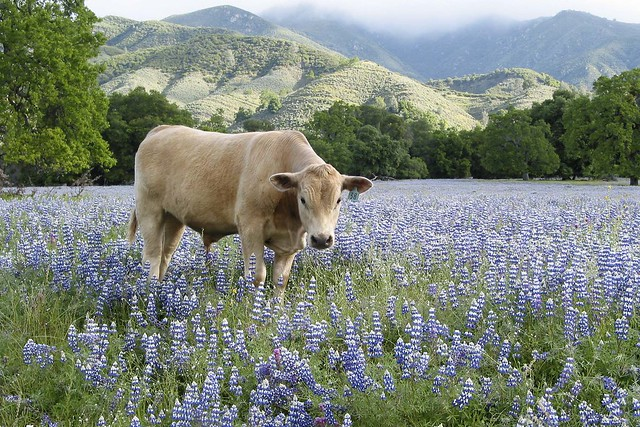 bull in lupines