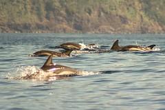 common dolphin Azores1