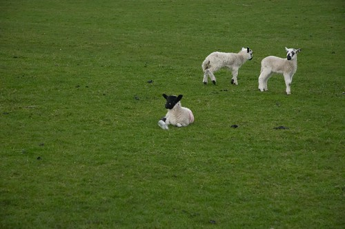 Newborn lambs | by boncey