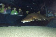 Tubarão Mônico