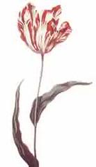 Semper Augustus the most expensive tulip ever!