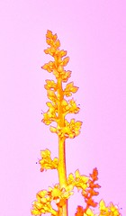 pink mango flower