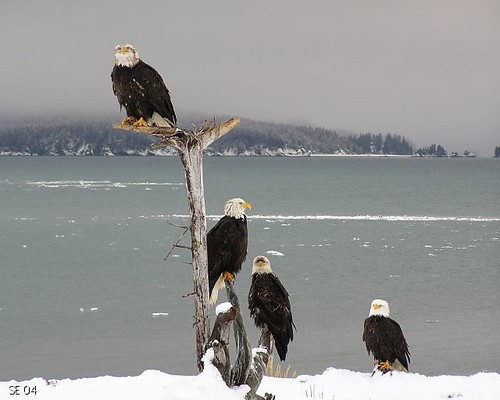 Adult eagles on perch | by Aleutian Fox