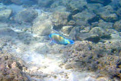 Christmas Wrasse or Parrot Fish?
