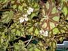 Begonia x 'Bow-Arriola'