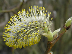Pussy Willow © Roger Butterfield