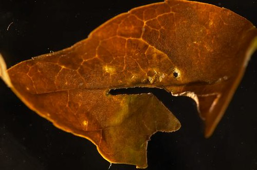 Decaying Leaf | by boncey