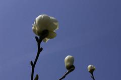 magnolia#03