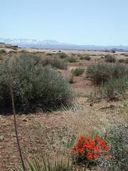 Red desert flower on White Rim trail