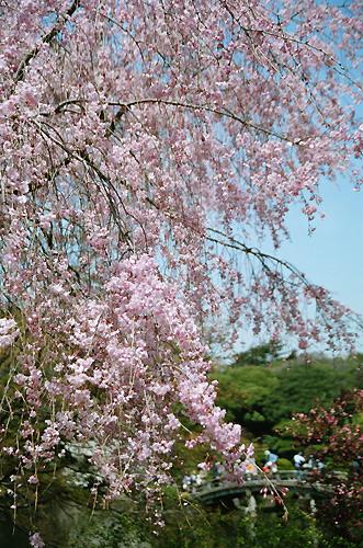 Sidare Sakura