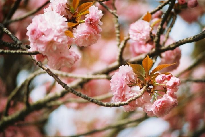 double-flowered cherry tree.