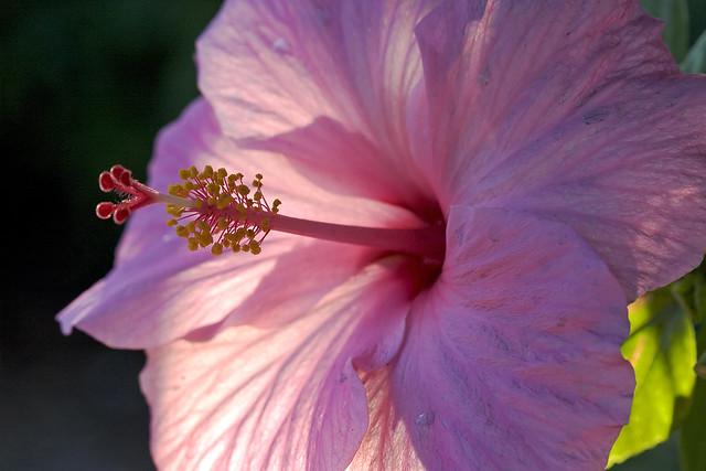 Hibiscus4 3.6.06.jpg