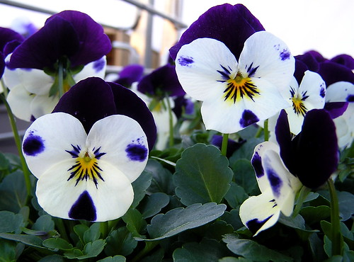 dotted pansies | by Muffet
