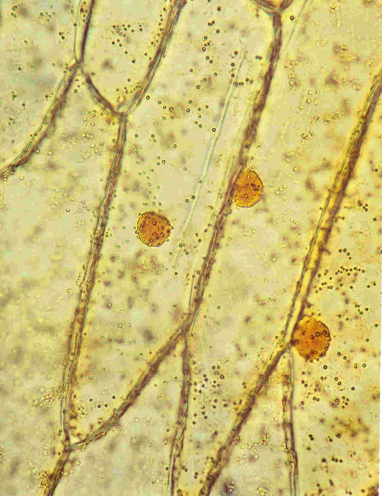 Onion Cells Stained With Iodine - 400X | Assume the length ...  Onion Under Microscope 40x