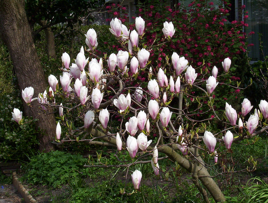 Magnolia Bush In A Garden This Magnolia Bush Grows In One Flickr