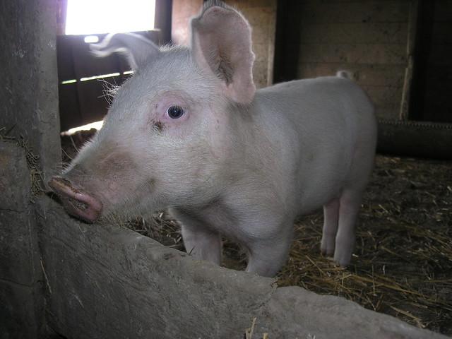 In a Pigs Eye