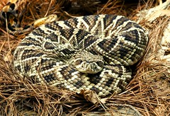 Rattlesnake | by Geekly