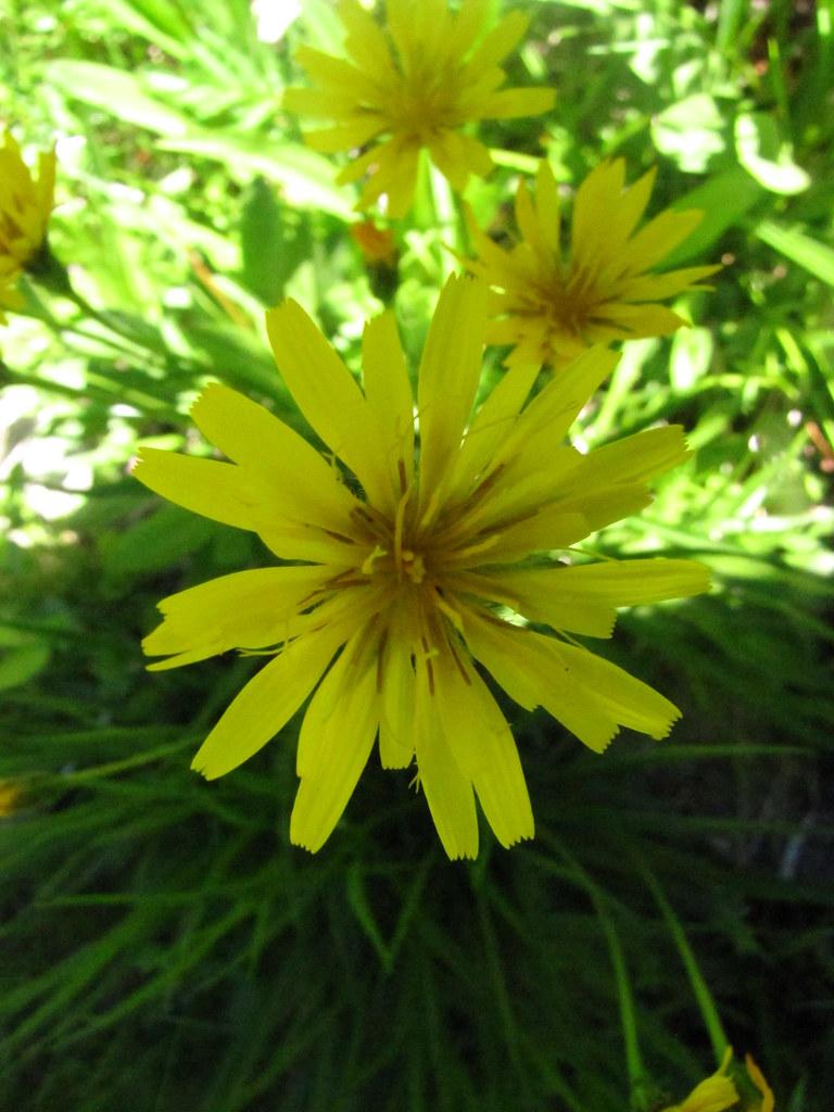 Nodding Microseris, Yam Daisy - Microseris nutans