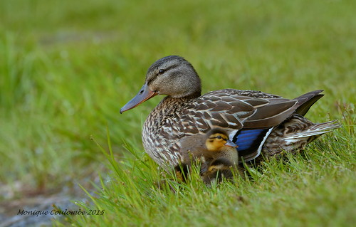 Canard Colvert femelle et canetons - Mallard Duck female and ducklings | by Monique Coulombe