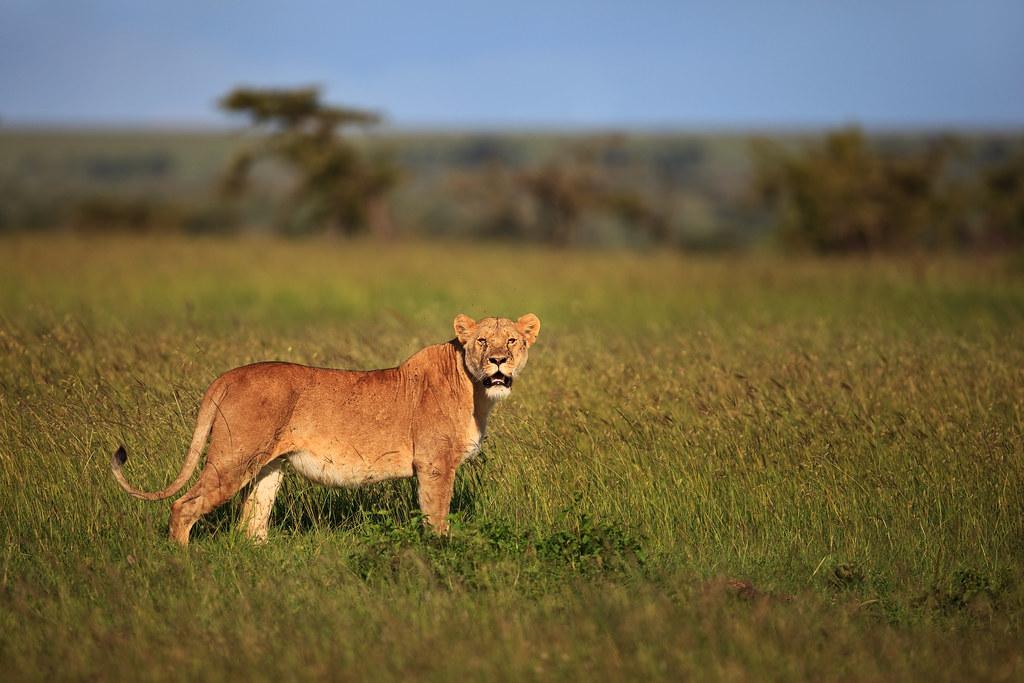 Lioness on the Savannah