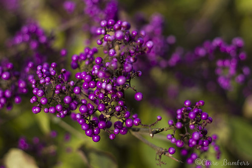 Purple Berries   by BambersImages