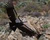 California Condor by Tom Clifton