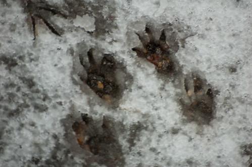 Squirrel footprints in snow