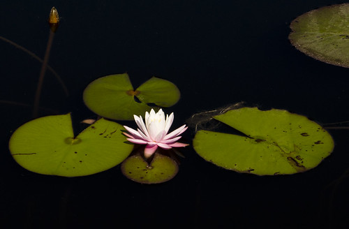 watercolor waterlily florida lilypad highway30a