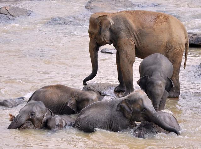 Pinnawela Elephant Orphanage - bathtime in the river.