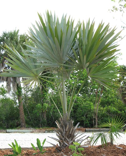 Silver Thatch palm | by SCCF Native Landscapes & Garden Center