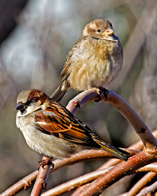 Just House Sparrows .