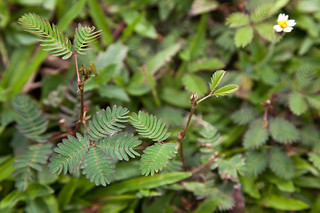 343 (Mimosa plant, before)   by meeralee