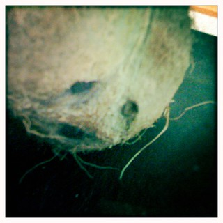 Kokosnød | by minigourmeten