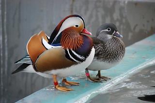 オシドリ(Mandarin duck) | by _temaki_